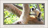 Langur Monkey, Ranthambore, Rajasthan, India