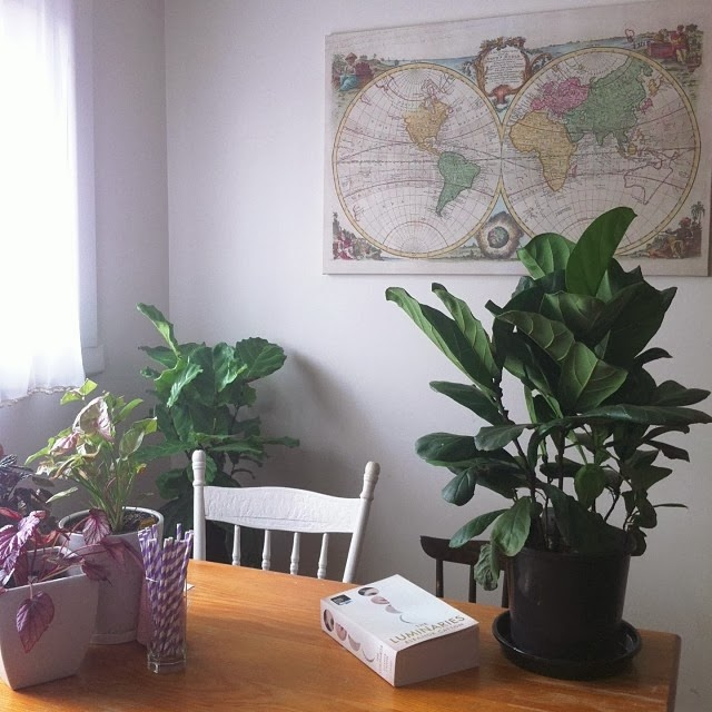 Fiddle Leaf Figs - Pocket Carnival