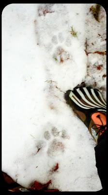 lake crescent cougar