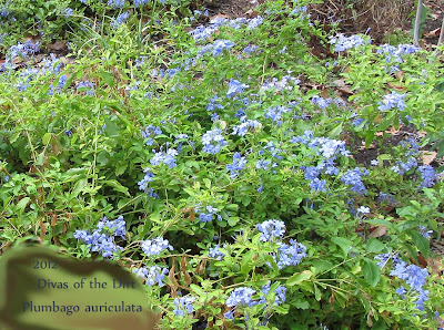 Divasofthedirt, close-up, Plumbago auriculata