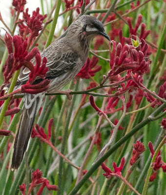Red Wattlebird (Anthochaera carunculata)