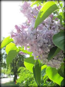 lilacs, mauve, light mauve lilac, spring flowers, flowers, Canadian flowers