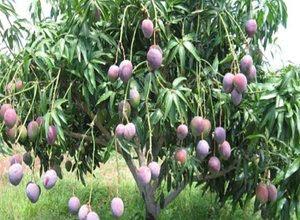 pohon-mangga-cepat-berbuah.jpg
