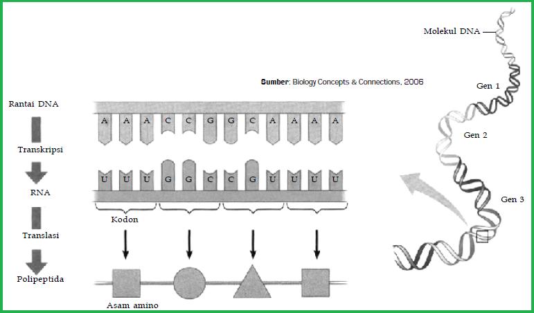 Proses sintesis protein tahapan atau urutan sintesis protein gambaran proses sintesis secara umum ccuart Image collections