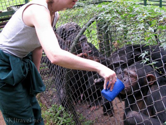 Feeding Chimps in Uganda