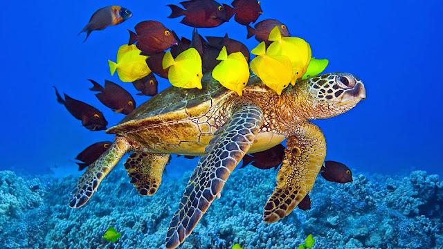 Imagenes de Tortugas y peces nadando