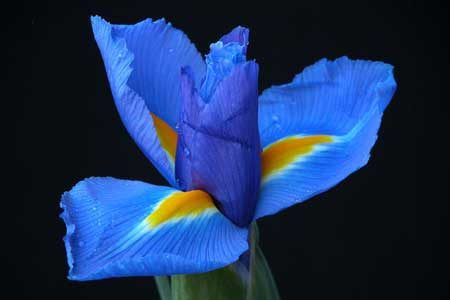 Iris Flower Picture on Iris Flower  This Post Is Dedicated To All