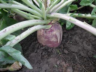 1 сентября, брюква корнеплод