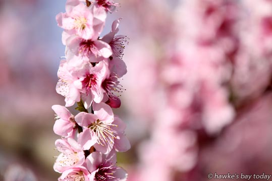 Warm, sunny, typical Hawke's Bay spring weather, fruit blossom, pink flowers in an orchard in Clive. photograph