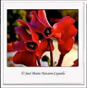 """Mis Flores imitando a la indomesticable Polaroid Sx 70"""