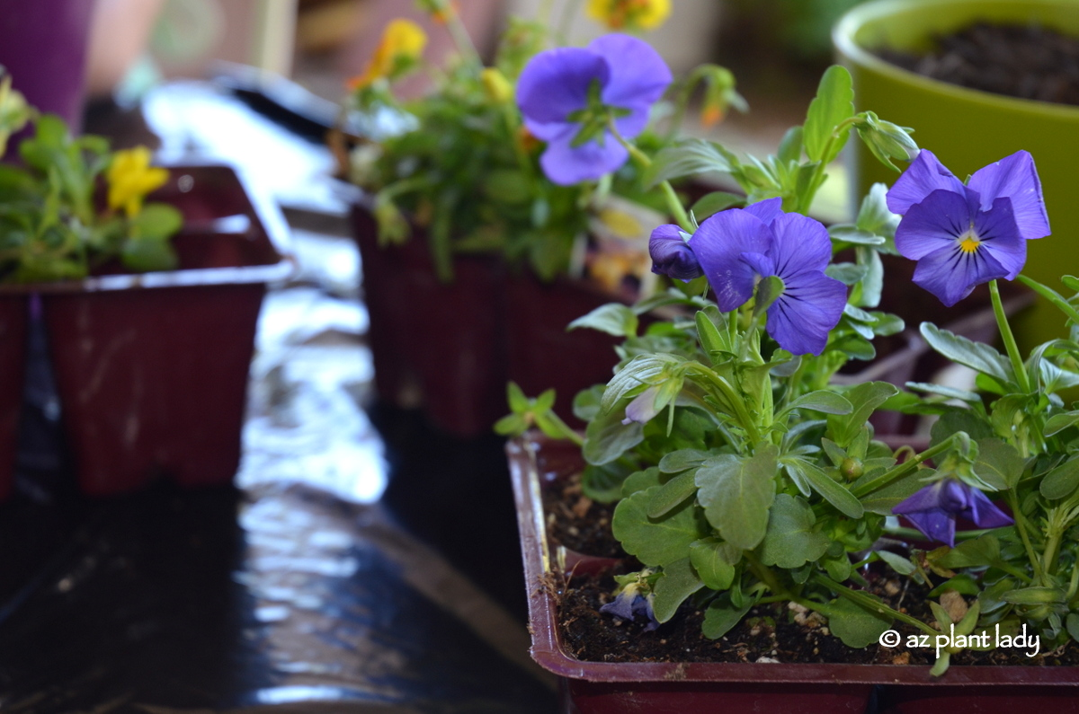 When And When Not To Plant Flowering Annuals Ramblings