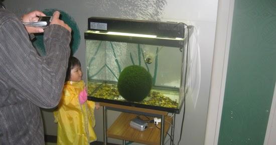 Fish girl writes marimo aegagropila linnaei care for Betta fish moss ball