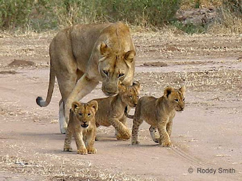 mama lion and cubs