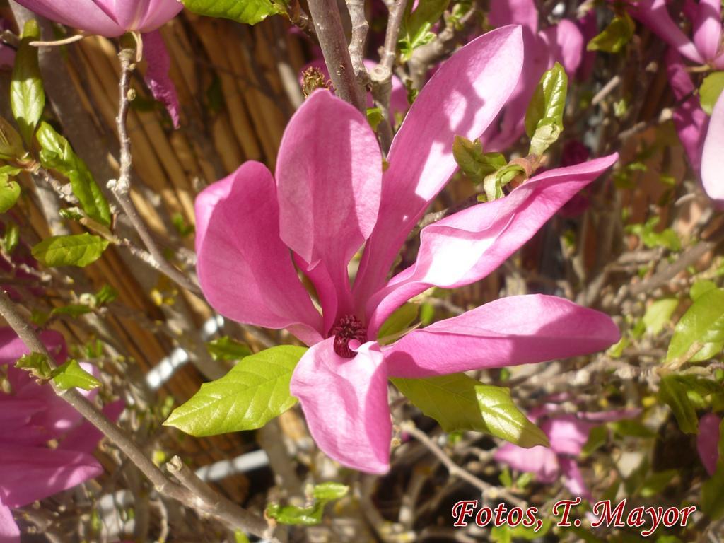 Flores y plantas silvestres magnolia x soulangeana - Semilla de magnolia ...