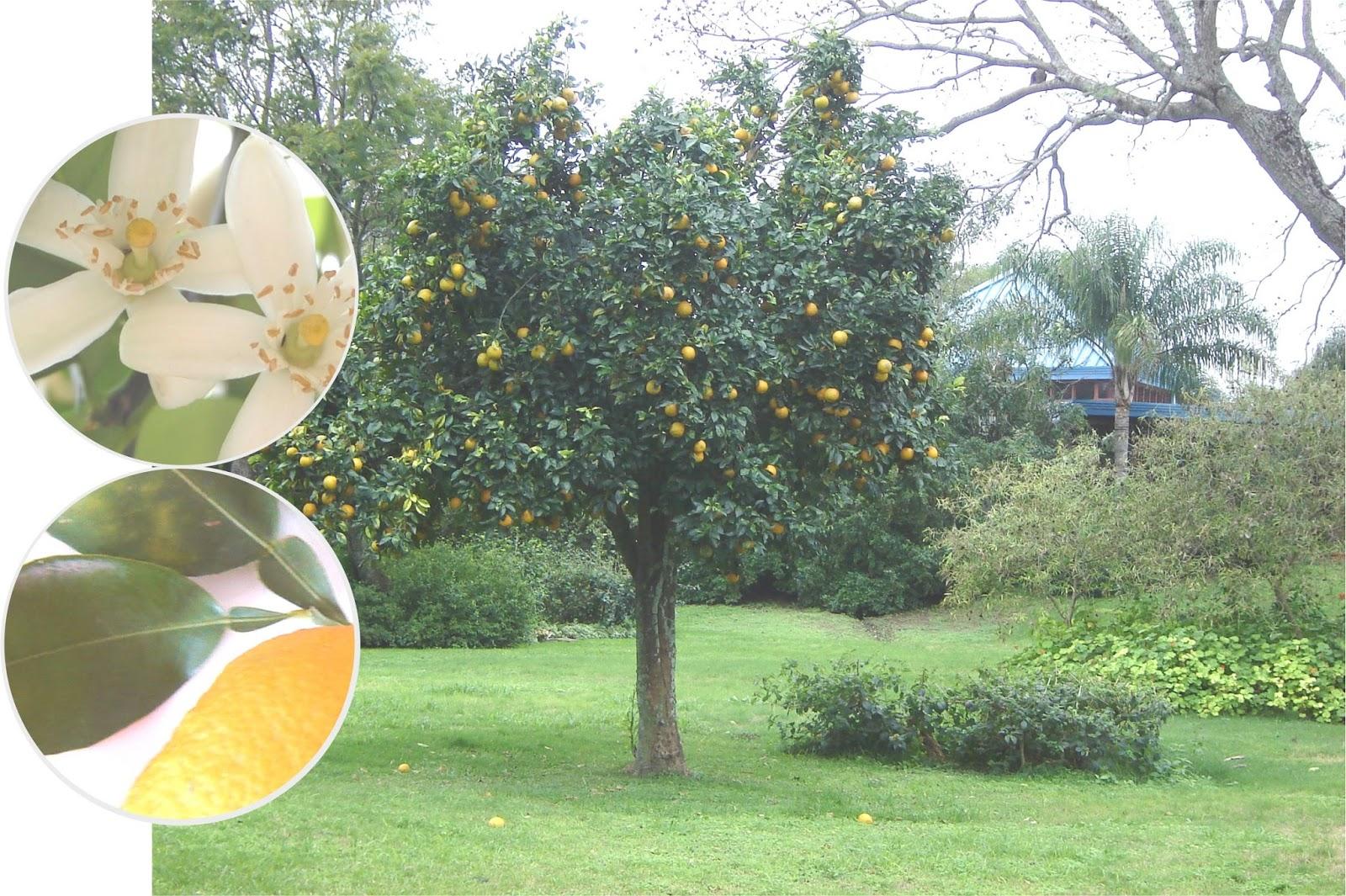V e r d e c h a c o naranja agria apep - Naranjas del arbol a la mesa ...