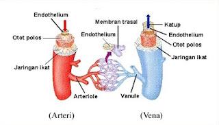 peredaran darah ganda,besar dan kecil,tabel perbedaan arteri dan vena,fungsi arteri dan vena,