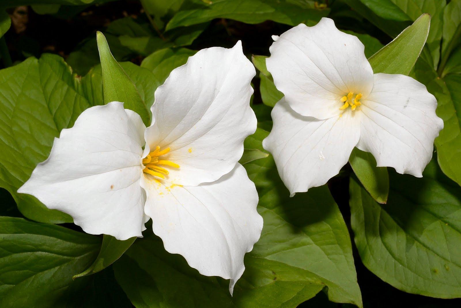Oregon State Flower Trillium