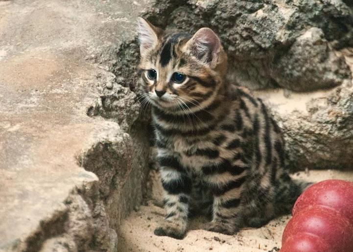 Najrzadsze Gatunki Kotów Na Ziemi Kochanezdrowie