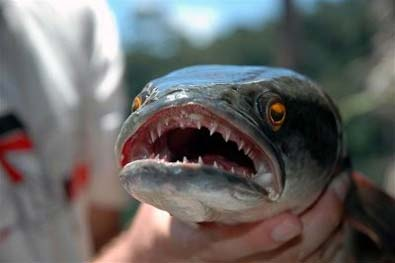 Ikan Gabus Dari Indonesia Yang Lebih Ganas Dari Piranha - gambar-yang