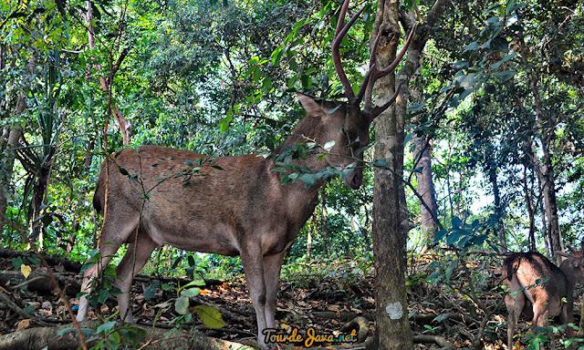 anda bisa menjumpai langsung Rusa liar di Taman Wisata Alam dan Cagar Alam Pangandaran