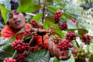 Coffee farmer, coffee plantation, Bali coffee, Java coffee, Coffee Gayo