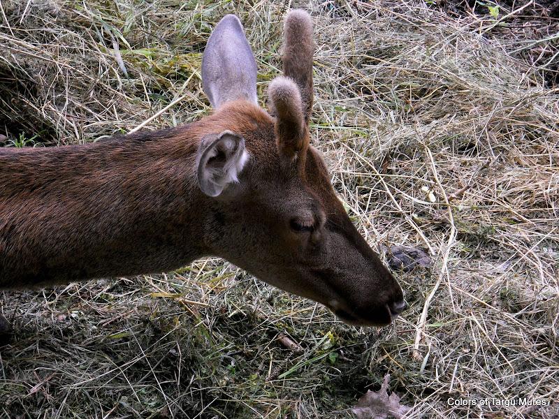 Erbivore, Tg. Murez ZOO. Deers at the Targu Mures Zoo. Gradina Zoologica Tirgu Mures