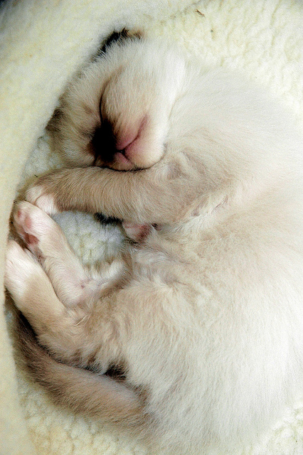 How much a Birman Cat sleeps per day?