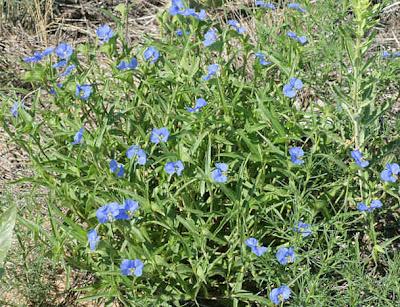 hierba de Santa Lucia Commelina erecta