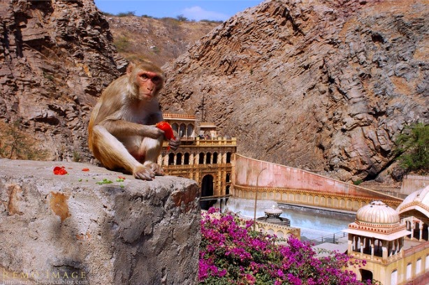 galta temple monkey singe jaipur inde