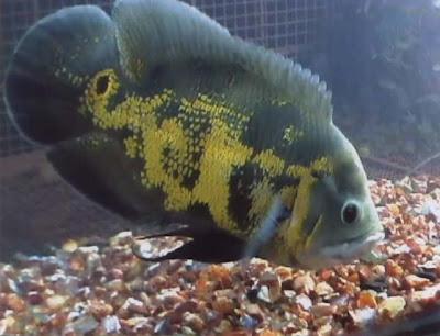 Budidaya Ikan Hias Oscar