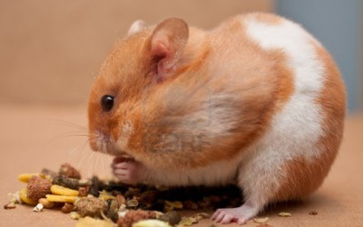 The Hamster | Little Cute Animal Facts & Pictures ...