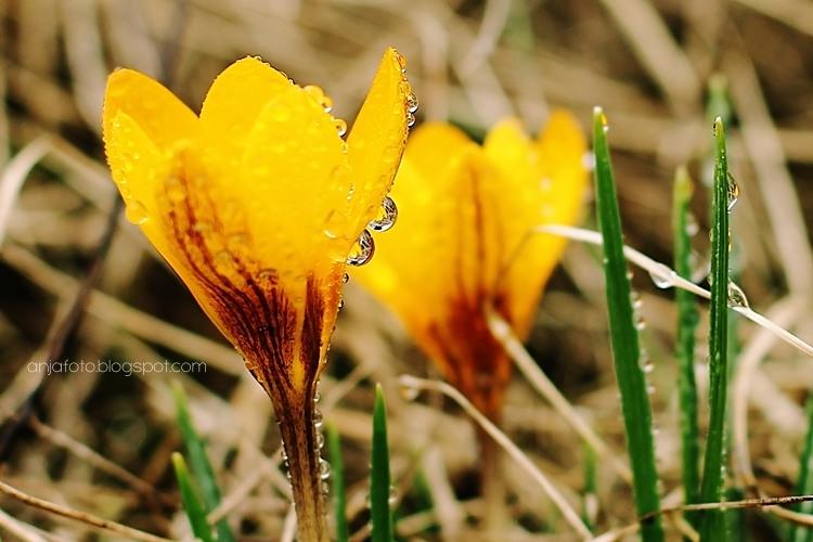 kwiaty, wiosenne kwiaty, krokusy, żółte krokusy, krokus