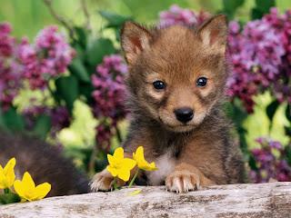 ملف كامل عن اجمل واروع الصور للحيوانات  المفترسة   حيوانات الغابة  26