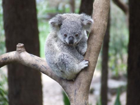 Animal planet november 2012 - Pics of baby koalas ...