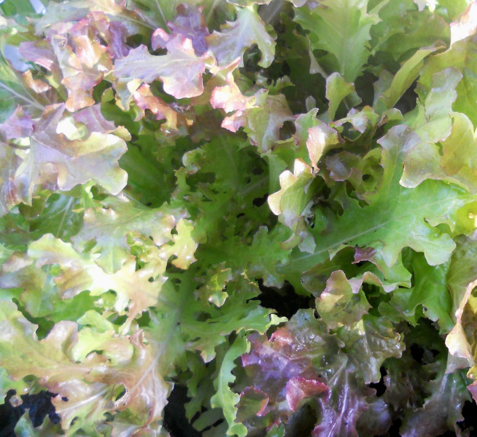 how to grow red lettuce