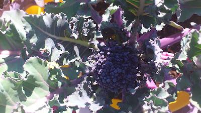 Pella de brocoli