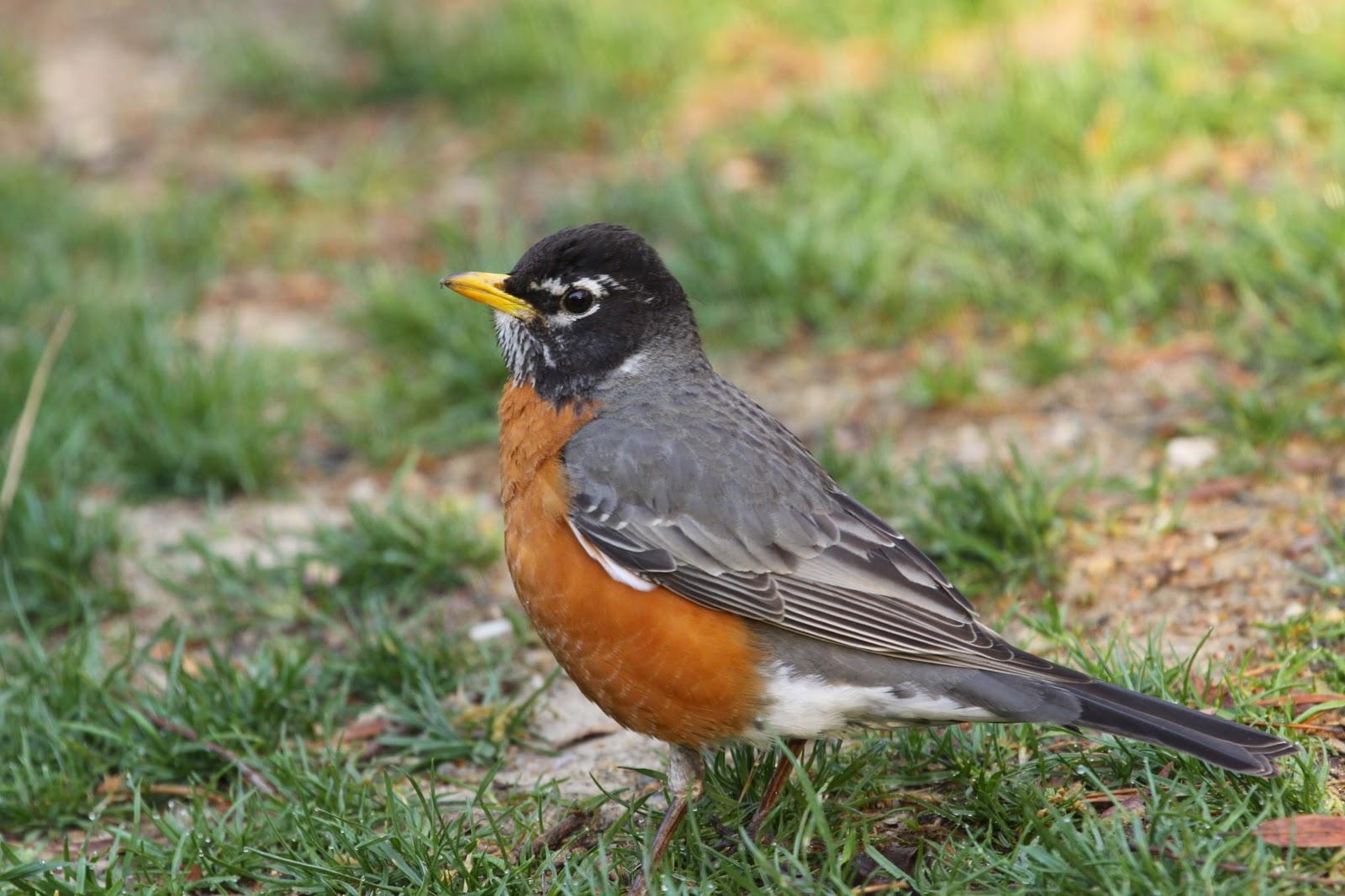 American Robin Bird Flying American Robin Bird