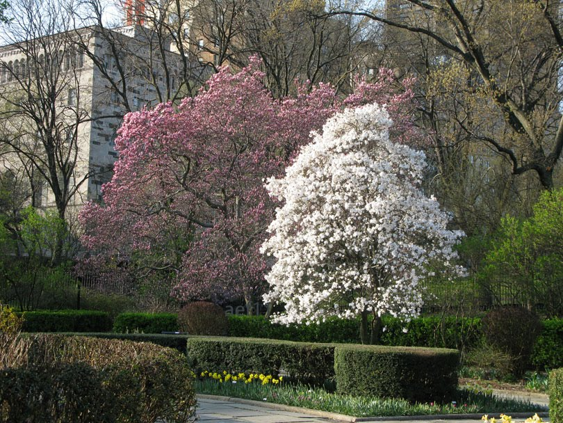 arborboy tree of the week magnolia stellata. Black Bedroom Furniture Sets. Home Design Ideas