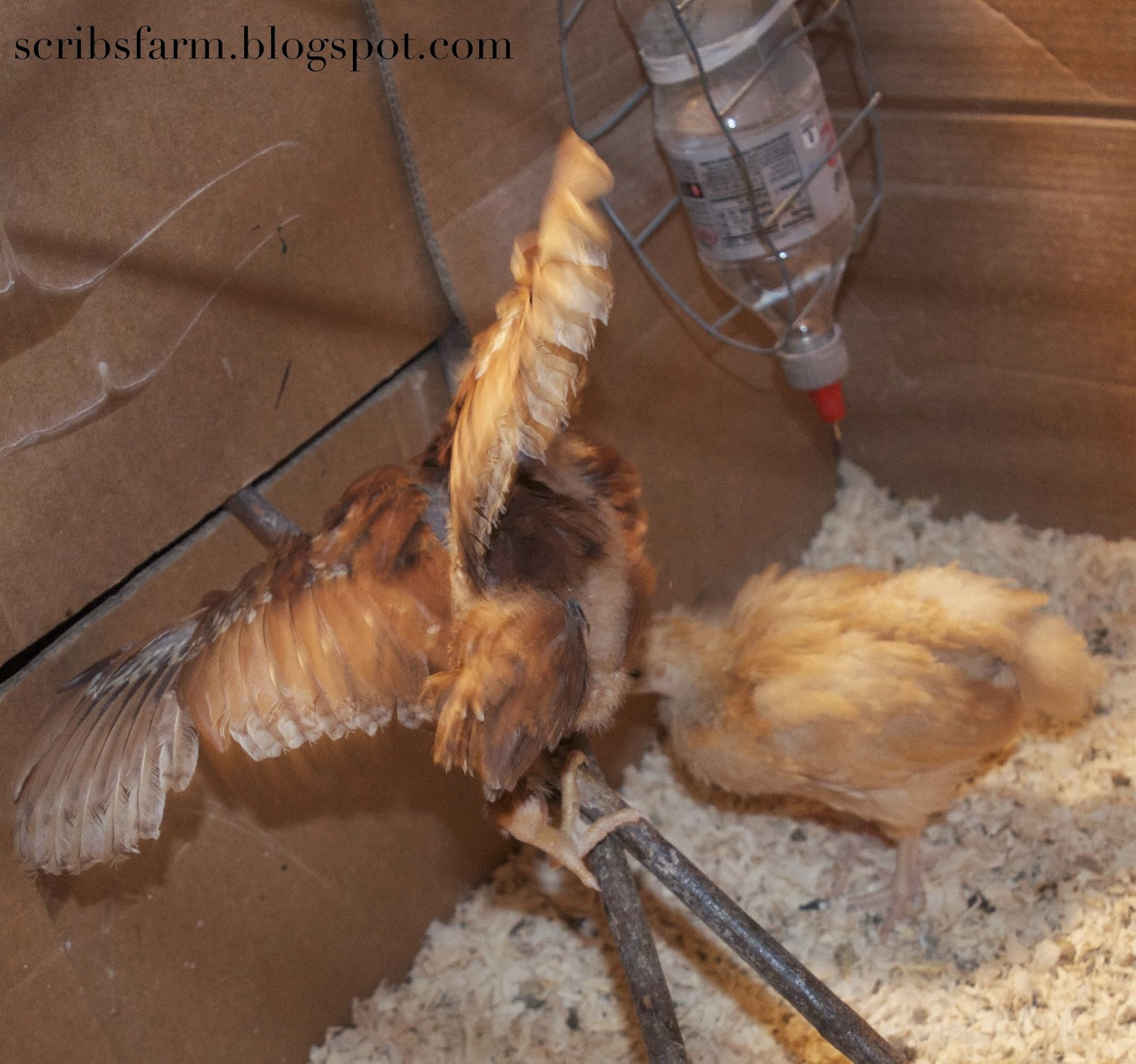 4 week feathers