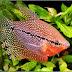Tips Budidaya Ikan Sepat Mutiara