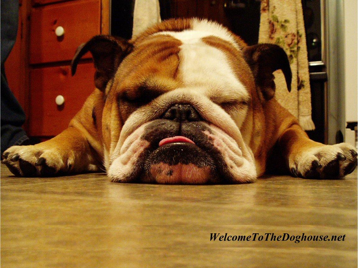 http://3.bp.blogspot.com/-QcYdwN2BK-o/ToQ2tWHdQXI/AAAAAAAAAfQ/gN9apVlyMt4/s1600/english_bulldog_wallpaper_1268972013.jpg