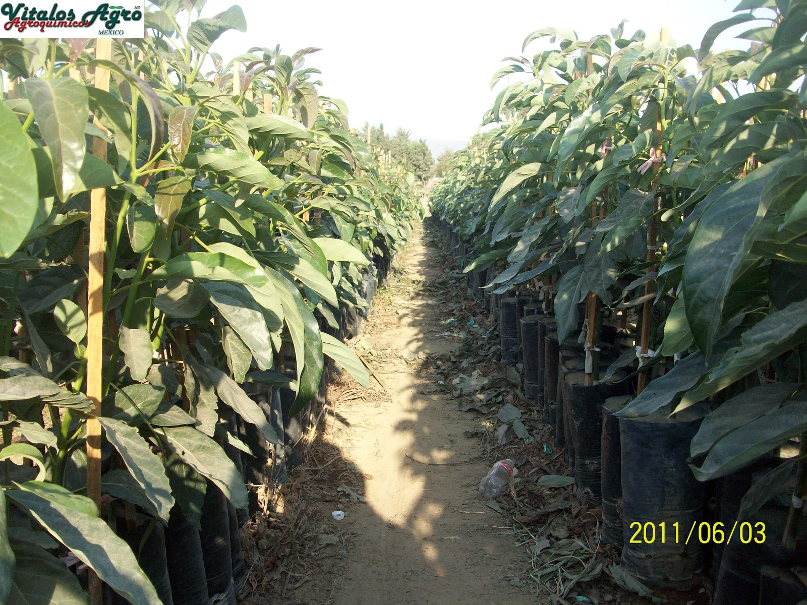 Viveros de aguacate hass y hass selecci n m ndez precios 2012 for Plantas precios viveros