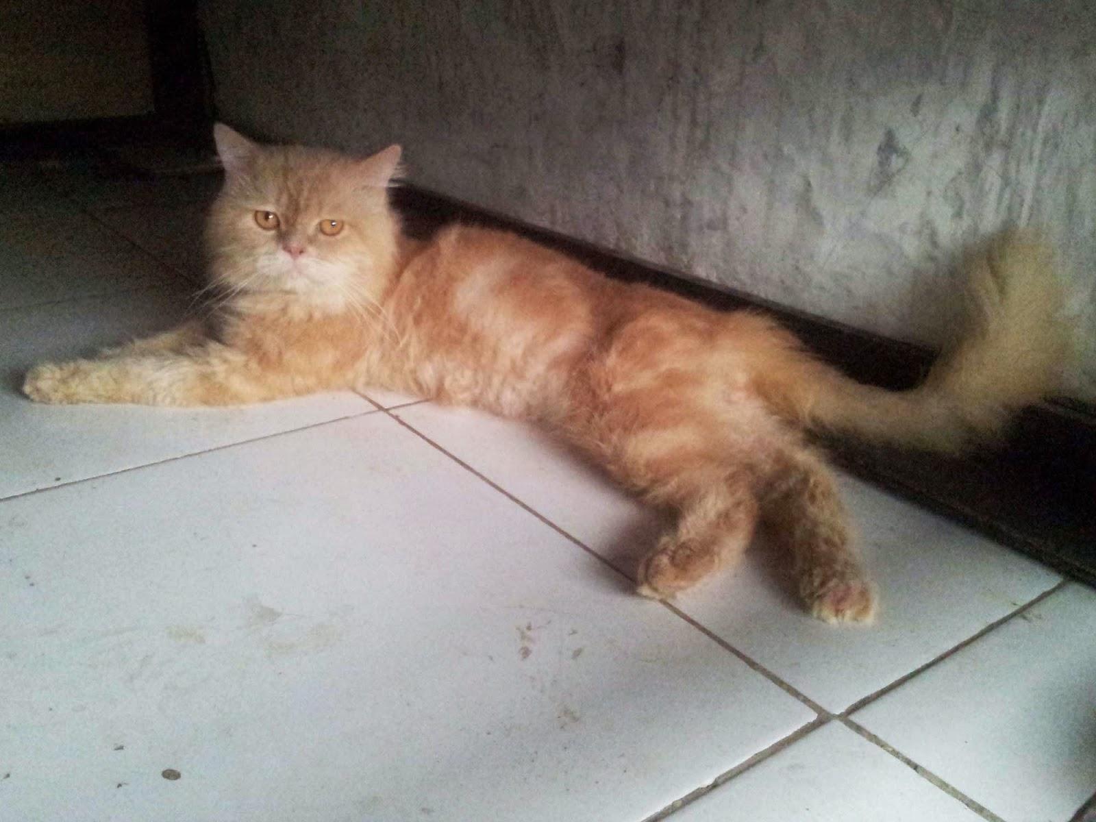 Kucing Persia Medium Segitu Petshop