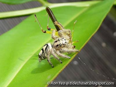 Heavy Jumper (Hyllus diardi)