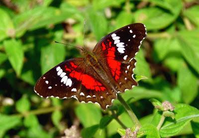 Aposematismo (Borboleta Anartia amathea)