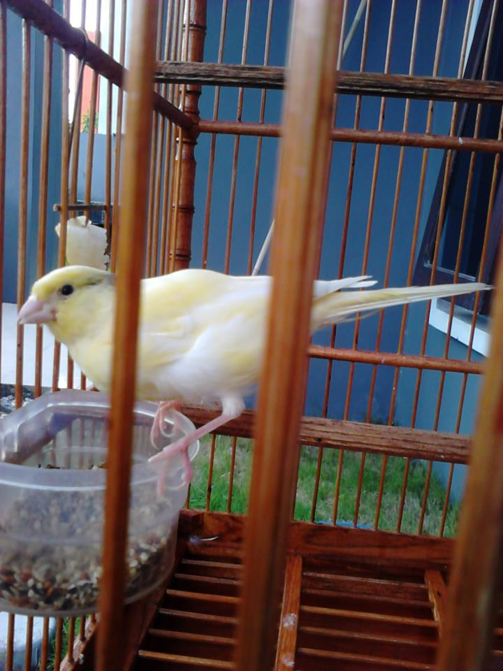 Kicau Mania Herunterladen Suara Burung Ciblek