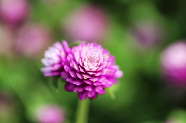 Globe Amaranth Flower #nature #flower #garden