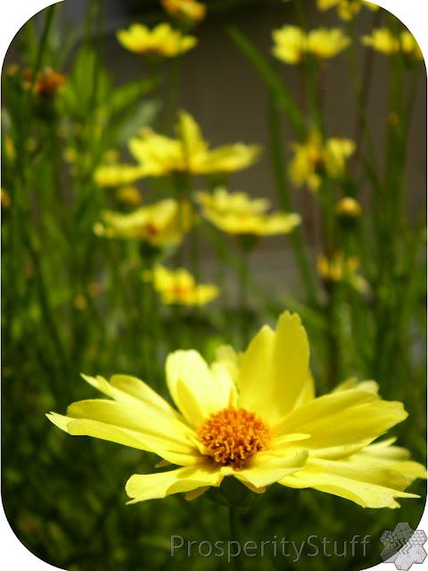 Creme Brulee Coreopsis - Yellow Perennial