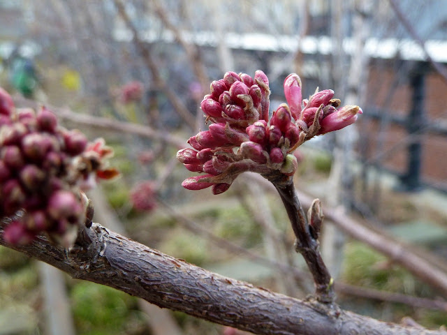 Viburnum x bodnantense rosy buds, late winter at the High Line