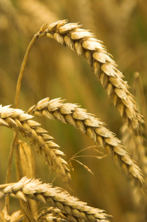 The Holistic Root: Gluten - Should You Be Eating it?
